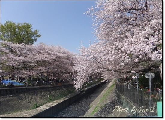 見納め満開の桜@善福寺川緑地