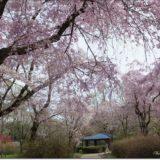 圧巻!しだれ桜@神代植物公園