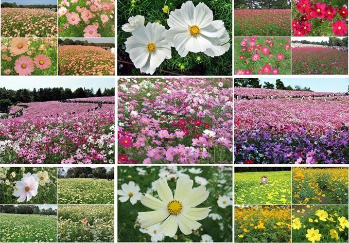 国営昭和記念公園の3ヶ所のコスモス(過去7回訪歴まとめ)