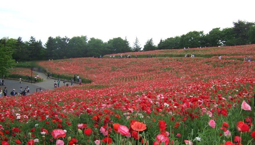 意外と知られていない国営昭和記念公園の花の丘のシャーレーポピー(動画あり)