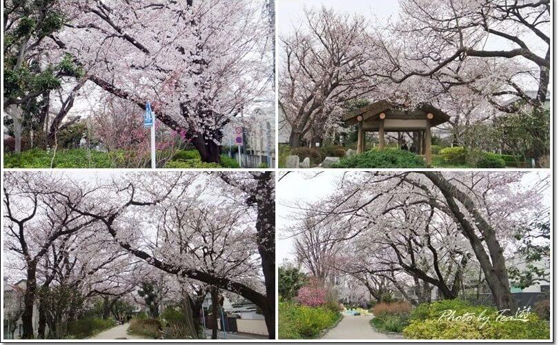 桜や春の花々の玉川上水第二公園(下高井戸~上北沢)