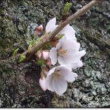 桜開花宣言!