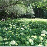 2018年6月2日現在の紫陽花開花状況@相模原北公園