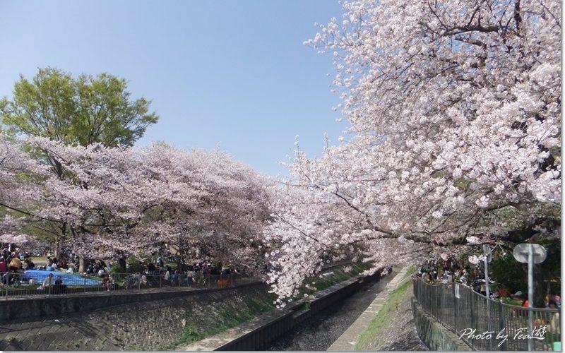 2018見納め満開の桜@善福寺川緑地