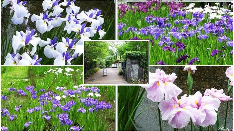 花菖蒲が見頃!「神代植物公園」分園の「水生植物園」と行き方(アクセス)